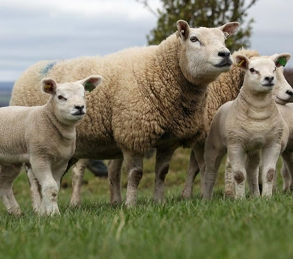 Sheep production consultancy and fertility services